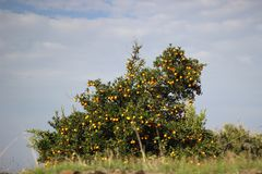 在小山的顶视图橙树 免版税库存照片