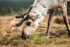 在小山的驯鹿 库存图片