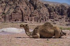 在小山的骆驼,与在背景的皇家坟茔 Petra, 免版税库存照片
