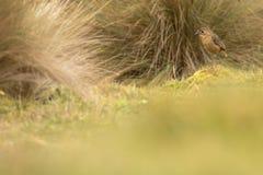 在小山的黄褐色的antpitta 库存照片
