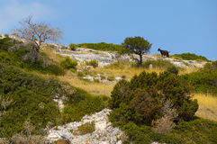 在小山的黑山羊 免版税库存照片