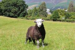 在小山的绵羊在Grassmere 库存图片