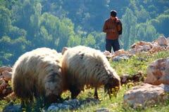 在小山的绵羊 图库摄影