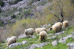 在小山的绵羊 库存图片