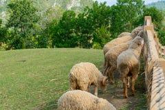 在小山的绵羊 免版税库存图片