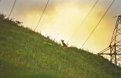 在小山的Fox在晚上光 免版税库存图片