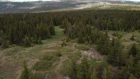 在小山附近的具球果森林 影视素材