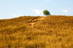在小山面孔的黄色干草与在上面的一棵树 库存照片