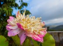 在小山顶的美丽的双重莲花 库存照片