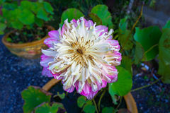 在小山顶的美丽的双重莲花 免版税库存图片