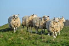 在小山顶部的五只绵羊 库存图片