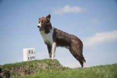在小山顶部的博德牧羊犬 图库摄影