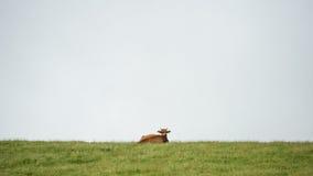 在小山顶部的母牛在一个象草的草甸 免版税库存图片