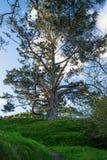 在小山顶部的盛大树 库存图片