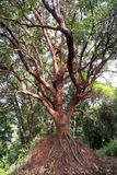 在小山顶部的红色树 免版税库存图片