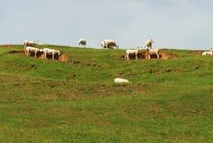 在小山顶部的绵羊 免版税库存照片