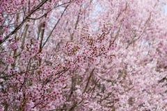 在小山, Hanamiyama公园,福岛, Tohoku,日本的美丽的桃红色樱花 免版税图库摄影
