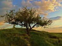 在小山fFeather的树在领域 库存照片
