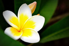 在小岛的赤素馨花 免版税图库摄影