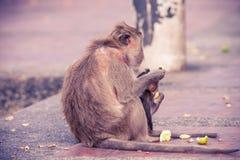 在小径的街道猴子 免版税库存照片