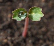 在小新芽的水下落 库存图片