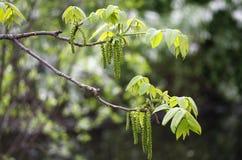 在小树枝的新的叶子在春天 免版税库存图片