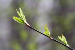 在小树枝的新的叶子在春天 库存照片