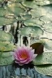 在小池塘的Waterlily在日落期间 免版税库存图片