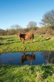 在小河反映的高地母牛 库存图片