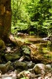 在小河旁边的多节树 免版税库存照片