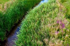 在小河旁边的绿色芦苇 免版税库存照片
