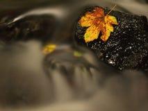 在小河的下落的打破的黄色枫叶 湿拖鞋石头的秋天遭难船在寒冷弄脏了水 库存照片