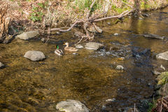在小河的两只鸭子 图库摄影