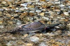 在小河的公桃红色三文鱼 免版税库存照片