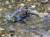 在小河的密友三文鱼 图库摄影