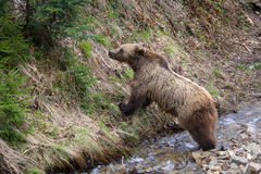 在小河的棕熊吃草 库存图片