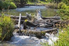 在小河的海狸水坝 免版税库存图片