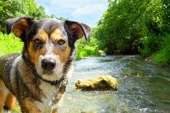 在小河的狗 免版税库存图片