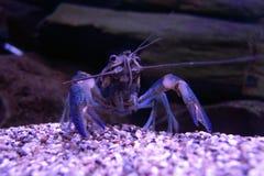 在小河的紫色青蟹 免版税库存图片