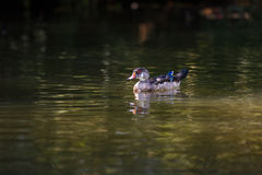 在小河的野鸭 图库摄影