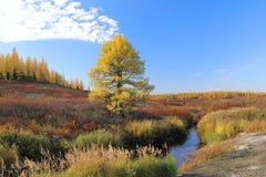 在小河的银行的落叶松属在秋天在韦斯特北部  库存照片