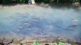 在小河的鳟鱼 免版税库存照片