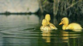 在小河的鸭子游泳 股票录像