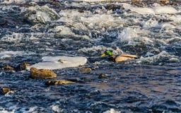 在小河的鸭子 鸭子在冬天 库存照片