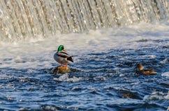 在小河的鸭子 鸭子在冬天 库存图片