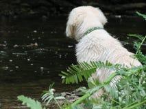 在小河银行的湿小狗 免版税图库摄影