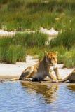 在小湖岸的懒惰雌狮  serengeti坦桑尼亚 图库摄影
