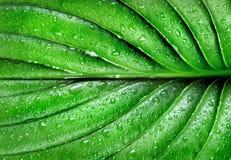 在小滴的绿色叶子水 关闭 库存照片