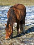 在小牧场的一匹棕色马 库存照片