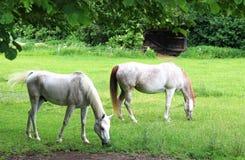 在小牧场的两匹美丽的白色阿拉伯马 库存照片